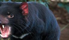 Besuch beim Tasmanischen Teufel