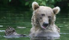 Bärenbeobachtung an der Redoubt Bay