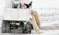 Eisbären Abenteuer