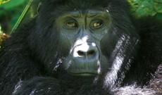Schimpansen & Berggorillas