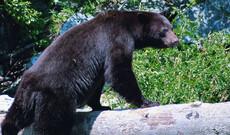 Bärenbeobachtung in Duchesnay
